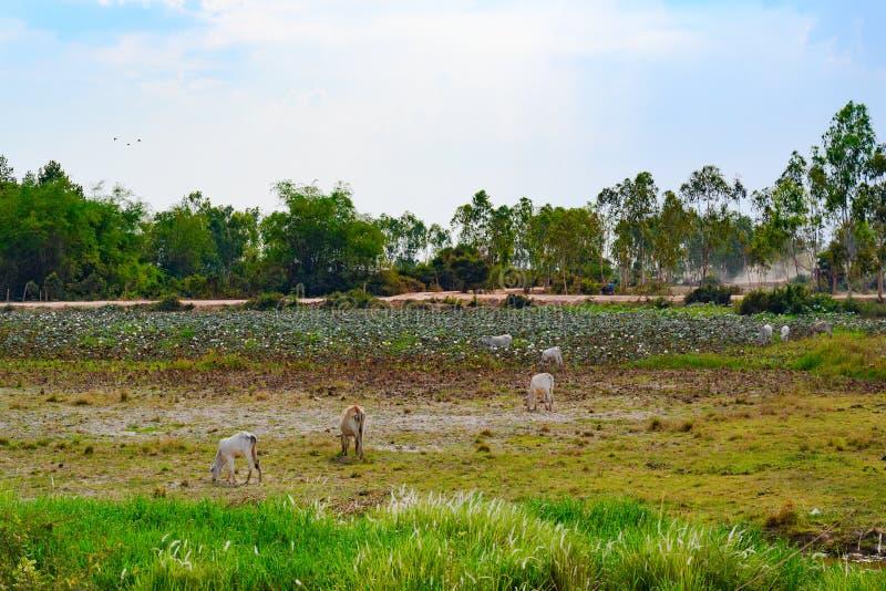 Calfs som betar på kambodjan, betar framme av lotusblommablommor på dammet royaltyfria foton