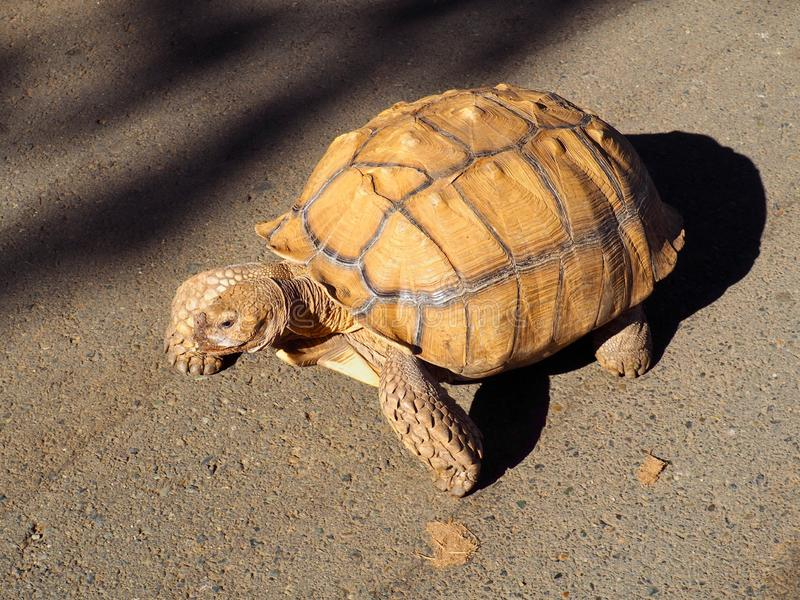 Calgado tortoise on an evening crawl, a gentle giant from Africa. Calgado tortoise on an evening crawl, a large tortoise that comes from Africa royalty free stock images
