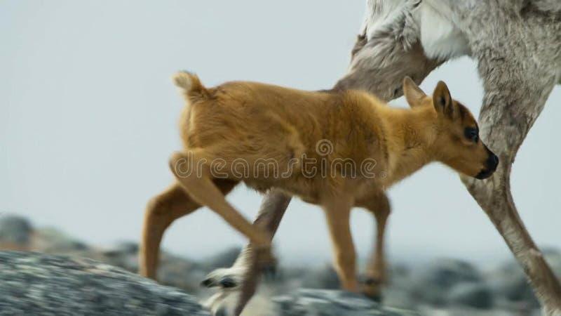 Calibou女性jouneyed对远北部对小牛和寻找的新的新鲜的草 北俄罗斯 免版税库存照片