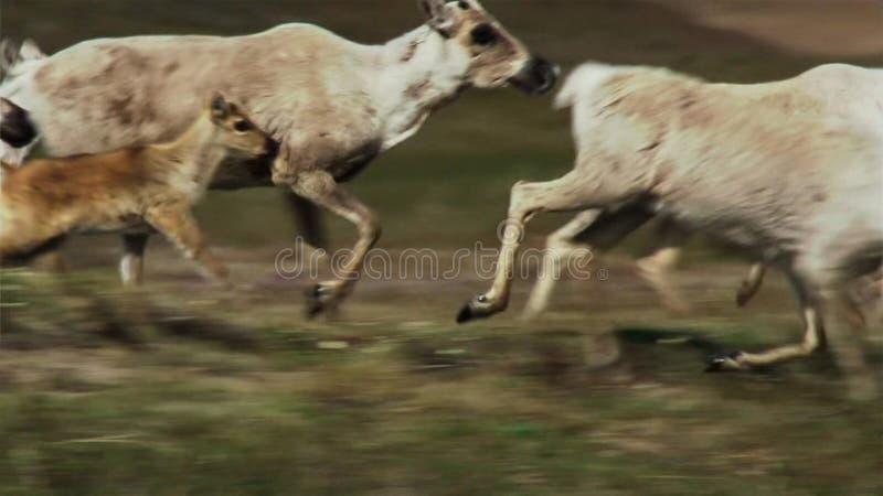 Calibou女性jouneyed对远北部对小牛和寻找的新的新鲜的草 北加拿大 库存照片