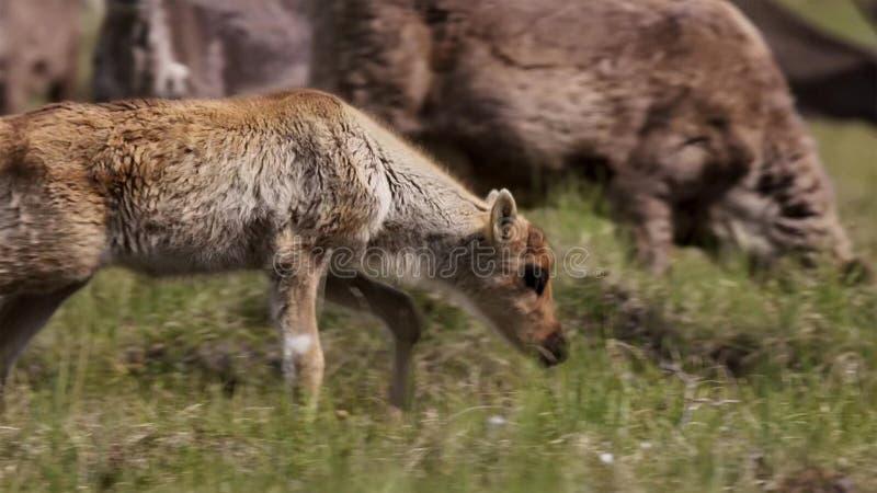 Calibou kvinnlig har jouneyed till den avlägsna norden till kalvar och sökande nytt nytt gräs Nordliga Kanada royaltyfri bild