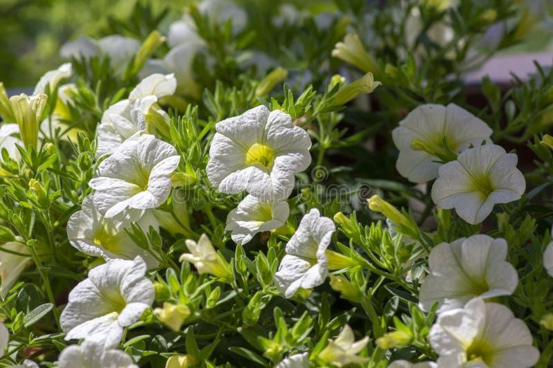 Calibrachoa百万棵吊钟花植物,小组在绽放,装饰罐阳台植物的白花 库存图片