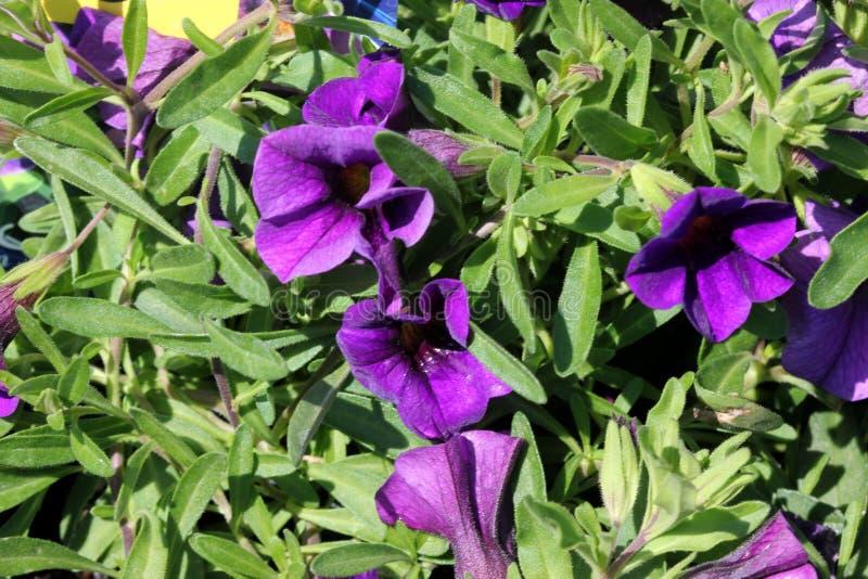 Calibrachoa ` Minifamous Królewskiego błękita `, Mini petunia fotografia stock
