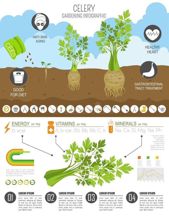 Calibre graphique de caractéristiques salutaires de céleri Jardinage, agriculture infographic, comment il se développe Conception illustration stock