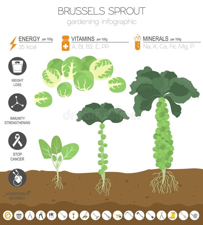 Calibre graphique de caractéristiques salutaires de chou de chou de bruxelles Jardinage, agriculture infographic, comment il se d illustration libre de droits