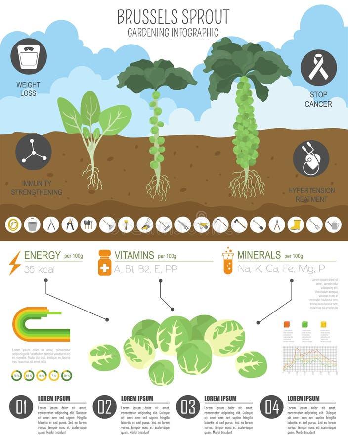 Calibre graphique de caractéristiques salutaires de chou de chou de bruxelles Jardinage, agriculture infographic, comment il se d illustration stock