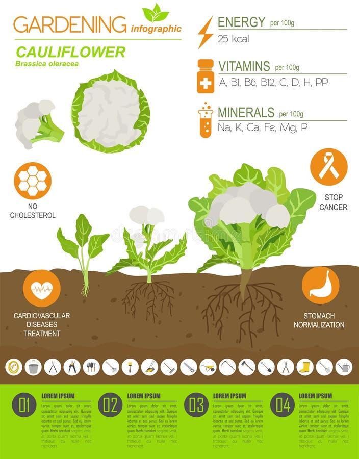 Calibre graphique de caractéristiques salutaires de chou de chou-fleur Jardinage, agriculture infographic, comment il se développ illustration stock
