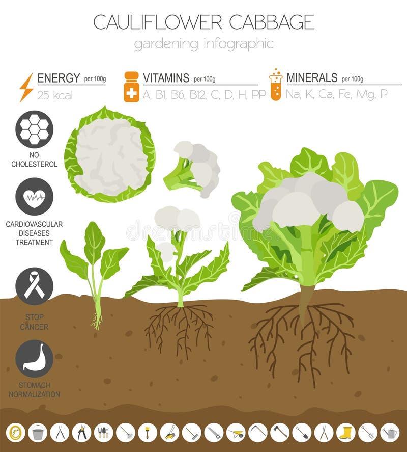 Calibre graphique de caractéristiques salutaires de chou de chou-fleur Jardinage, agriculture infographic, comment il se développ illustration de vecteur