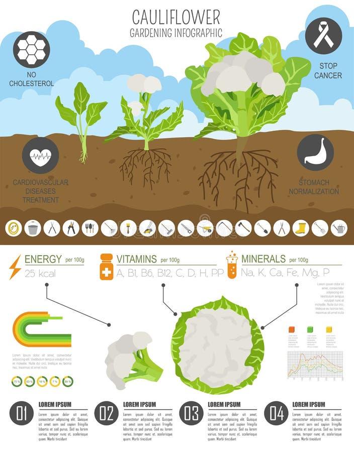 Calibre graphique de caractéristiques salutaires de chou de chou-fleur Jardinage, agriculture infographic, comment il se développ illustration libre de droits