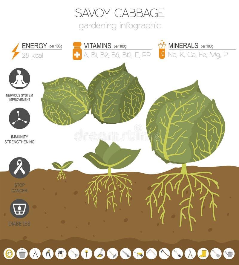 Calibre graphique de caractéristiques salutaires de chou Jardinage, agriculture infographic, comment il se développe Conception p illustration stock