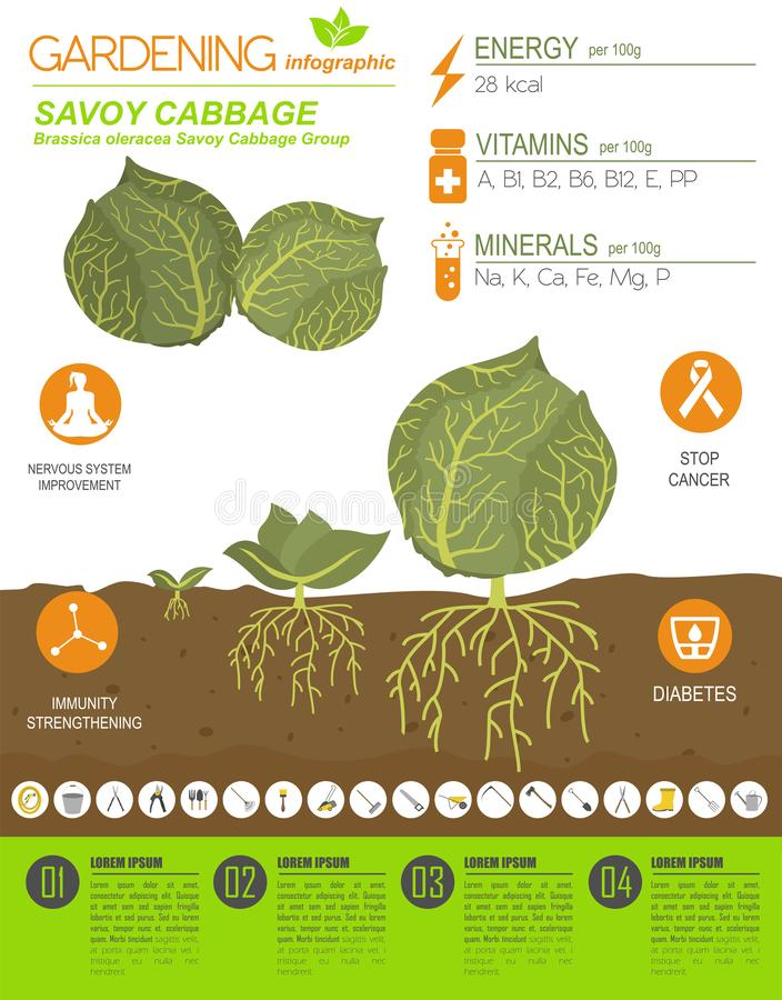 Calibre graphique de caractéristiques salutaires de chou Jardinage, agriculture infographic, comment il se développe Conception p illustration de vecteur