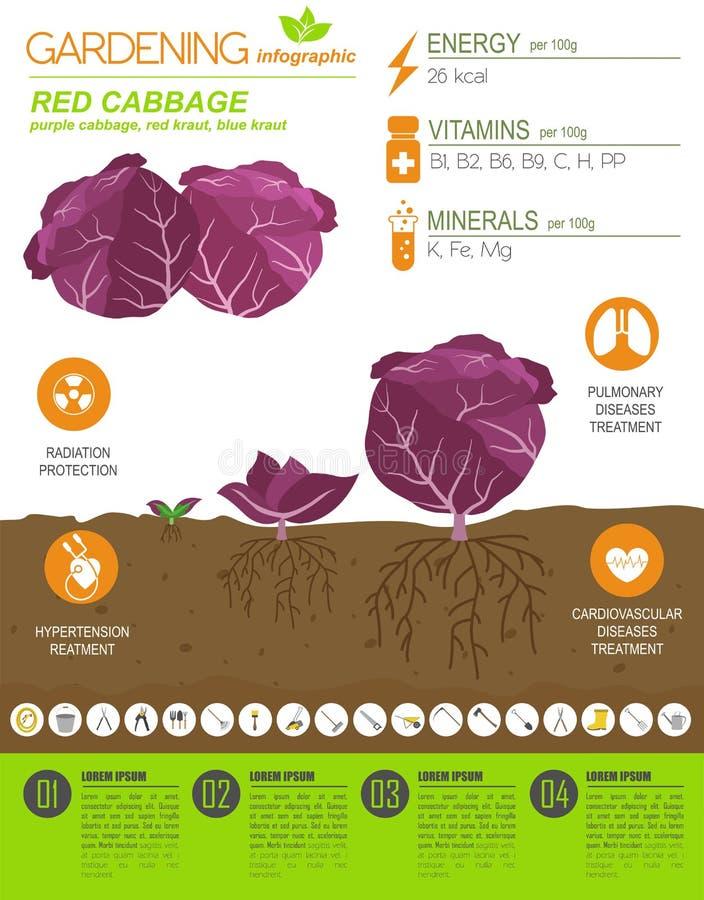 Calibre graphique de caractéristiques salutaires de chou rouge Jardinage, agriculture infographic, comment il se développe Concep illustration stock