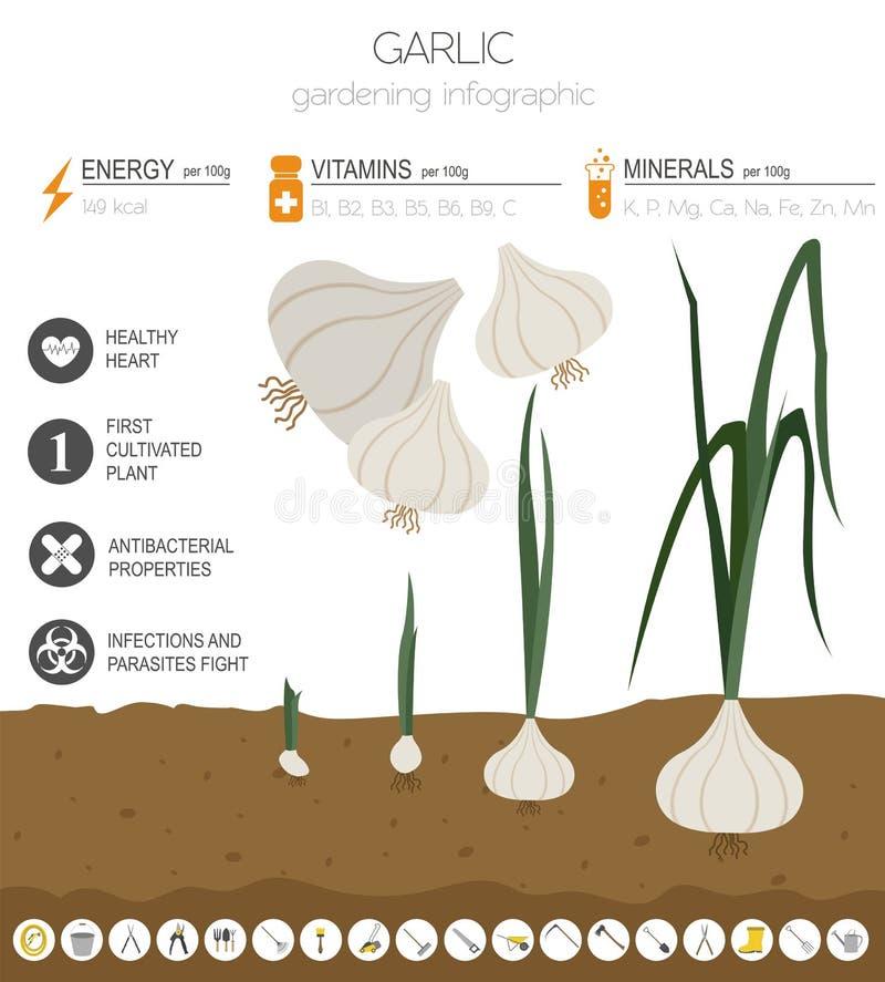 Calibre graphique de caractéristiques salutaires d'ail Jardinage, agriculture infographic, comment il se développe Conception pla illustration libre de droits