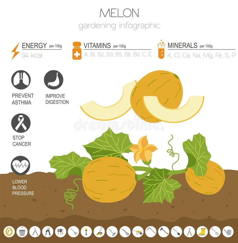 Calibre graphique de caractéristiques salutaires de melon Jardinage, agriculture infographic, comment il se développe Conception  illustration de vecteur