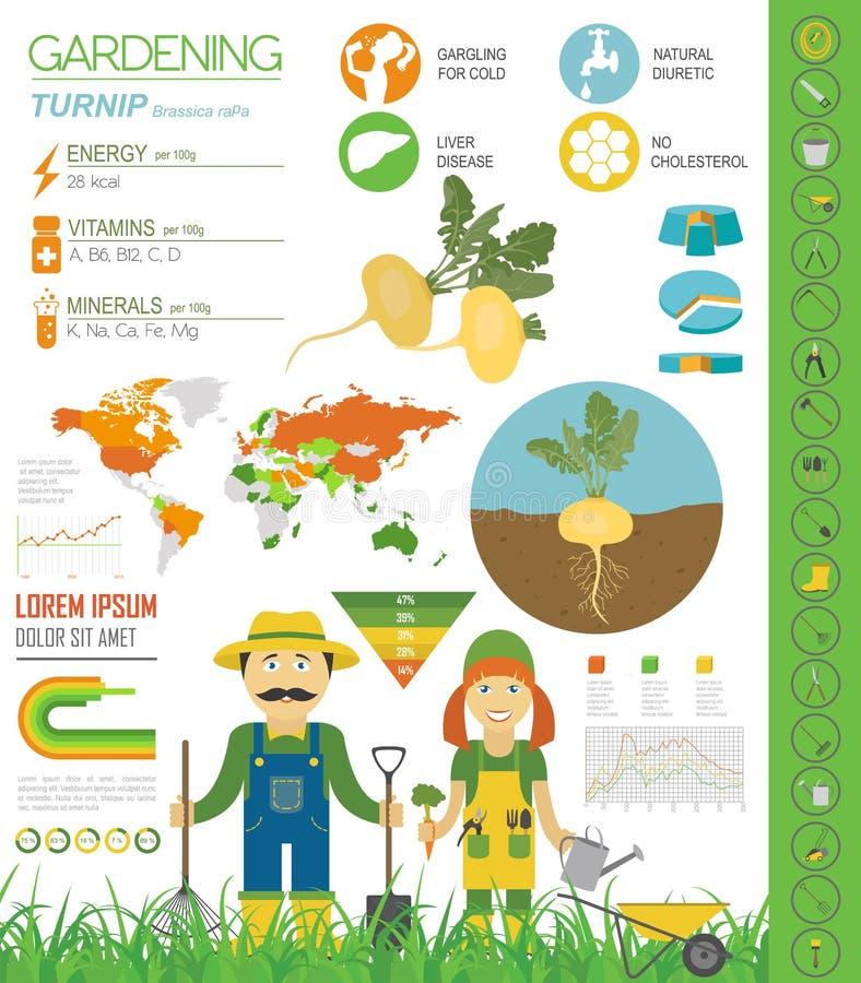 Calibre graphique de caractéristiques salutaires de navet Jardinage, agriculture infographic, comment il se développe Conception  illustration libre de droits