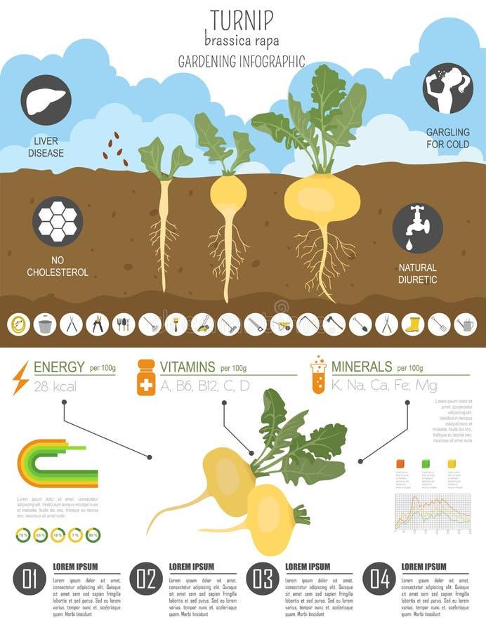 Calibre graphique de caractéristiques salutaires de navet Jardinage, agriculture infographic, comment il se développe Conception  illustration de vecteur