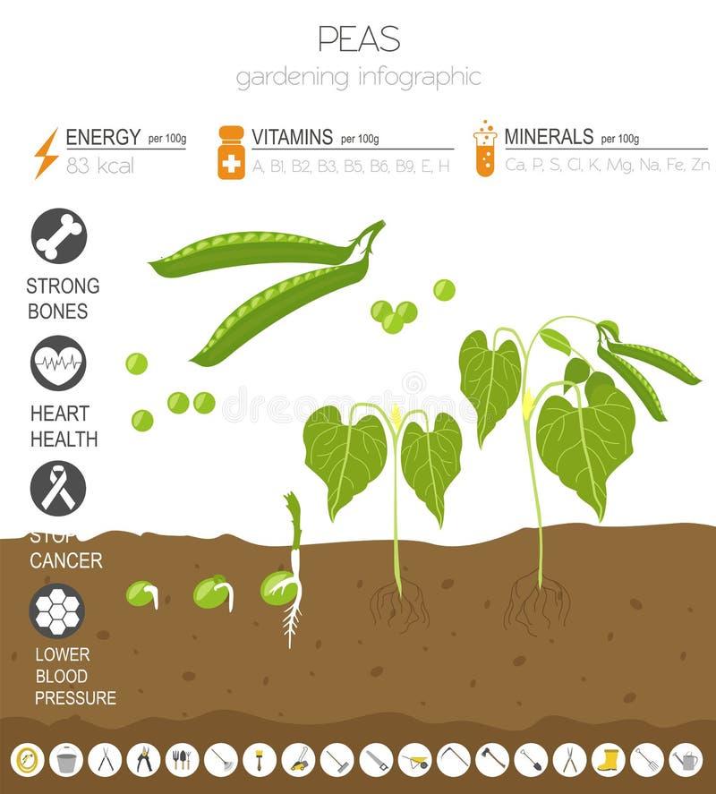 Calibre graphique de caractéristiques salutaires de pois Jardinage, agriculture infographic, comment il se développe Conception p illustration libre de droits