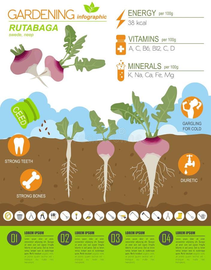 Calibre graphique de caractéristiques salutaires de rutabaga Jardinage, agriculture infographic, comment il se développe Concepti illustration de vecteur
