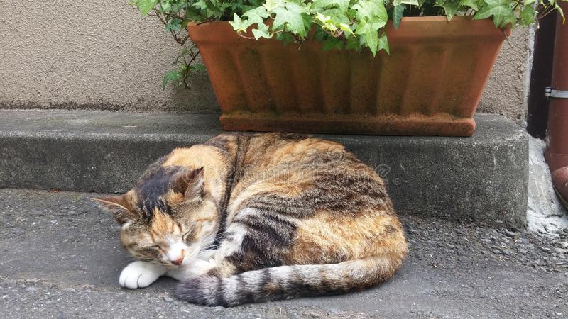 Calic? Cat Sleeping nel Giappone immagini stock