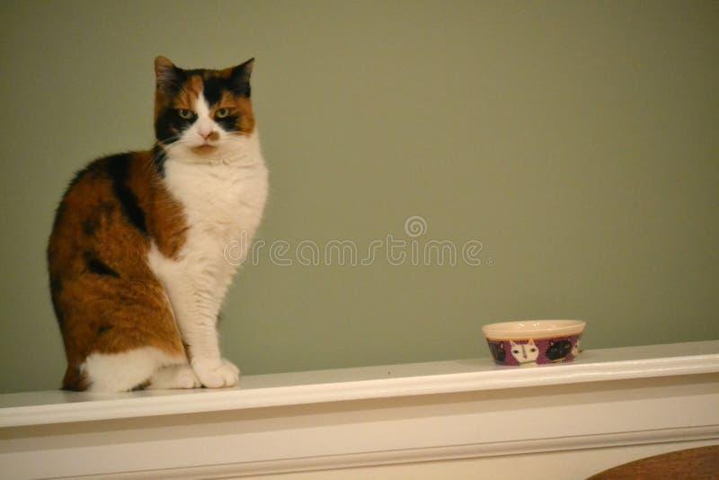 Calicò Cat Wants Food fotografia stock
