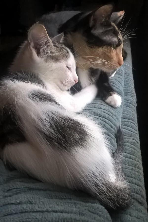 Calicó Cat And Kitten fotografía de archivo