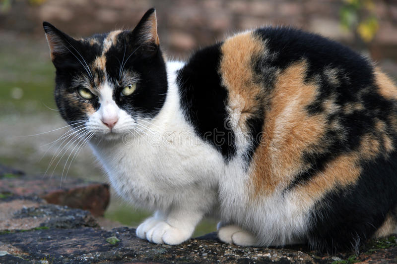Calico Cat. Crouching adult calico cat outdoors royalty free stock images