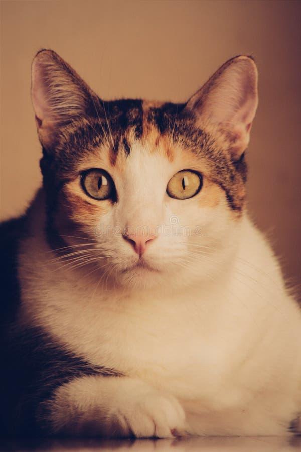 Calico Cat Free Public Domain Cc0 Image