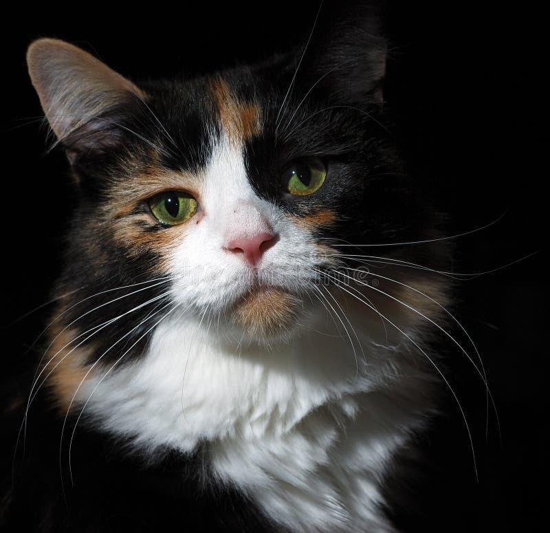 Calico Cat on Black royalty free stock photos