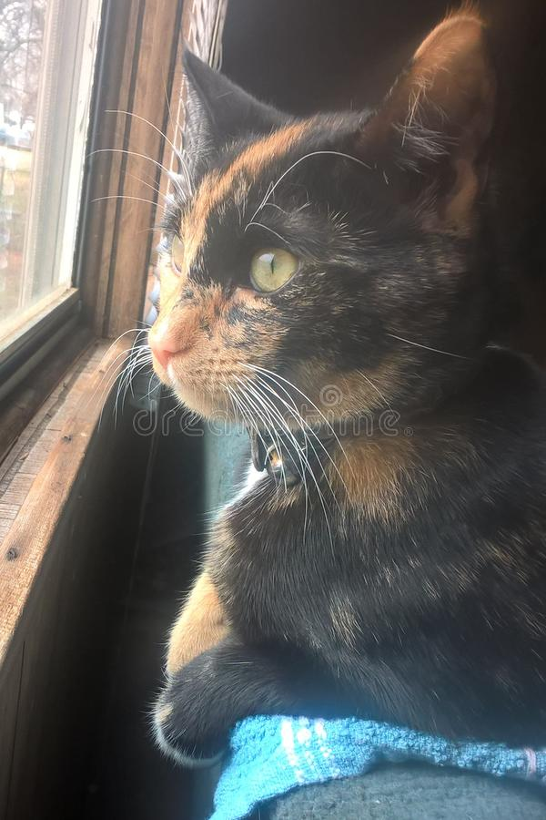 Calico Cat. Callie is a six month old American Short Hair, a domestic breed brought to North America by early settlers to protect valuable cargo from mice and stock photo