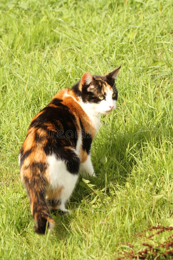Calico cat full length portrait. Calico or tortoiseshell cat looking back outdoors on the bright green grass stock image