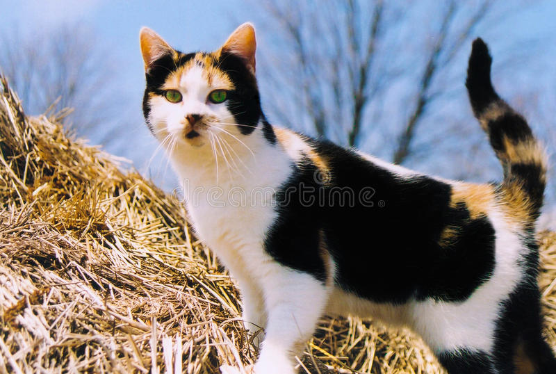 Calico cat. On a hay bale royalty free stock photos