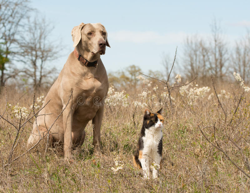 Calico cat with her Weimaraner dog friend sitting in grass royalty free stock photography