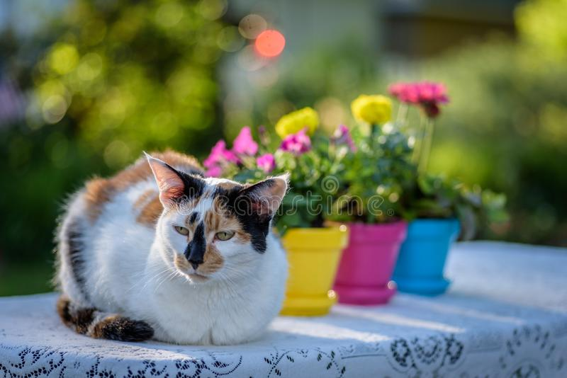 Calico cat laying on lace tablecloth with colorful flower pots. Calico cat laying outside on lace tablecloth with colorful flower pots in springtime royalty free stock images