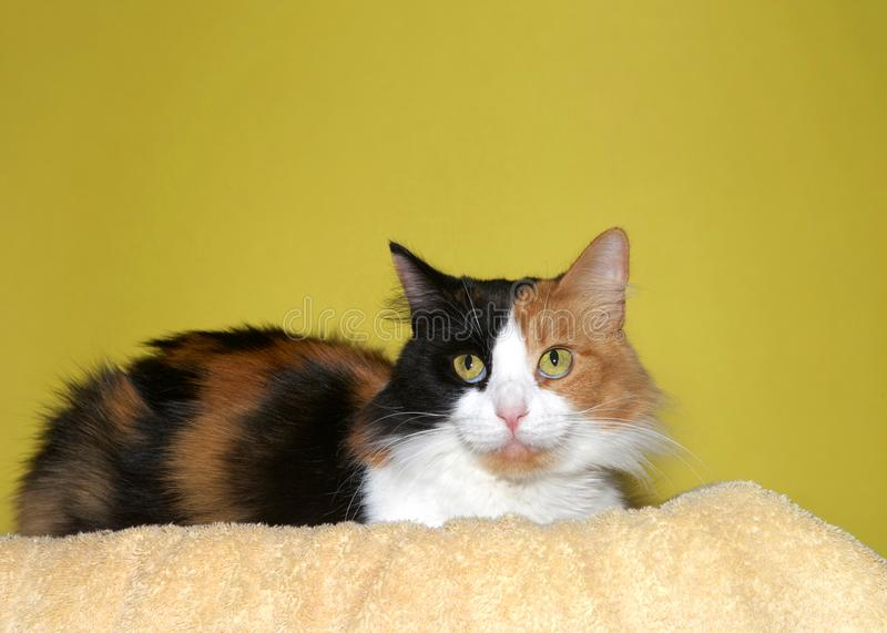 Calico cat on yellow royalty free stock photos