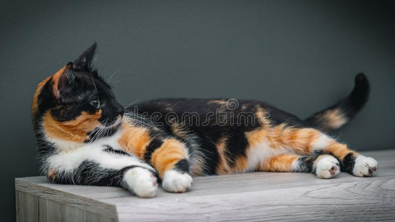Calico cat lying on a wooden surface with large colorful eyes.  stock photo