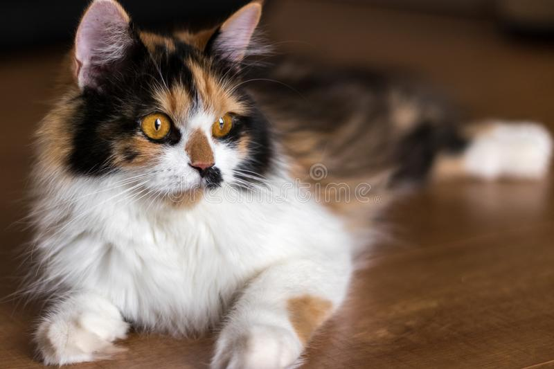 Calico Cat. A calico patterned persian cat stock photo