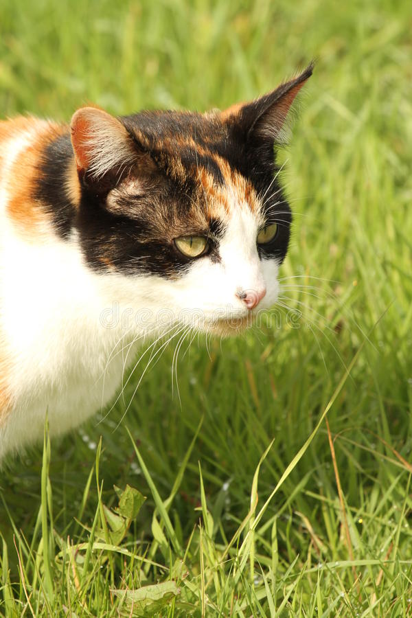 Calico cat portrait. Calico or tortoiseshell cat portrait outdoors on the bright green grass stock photo