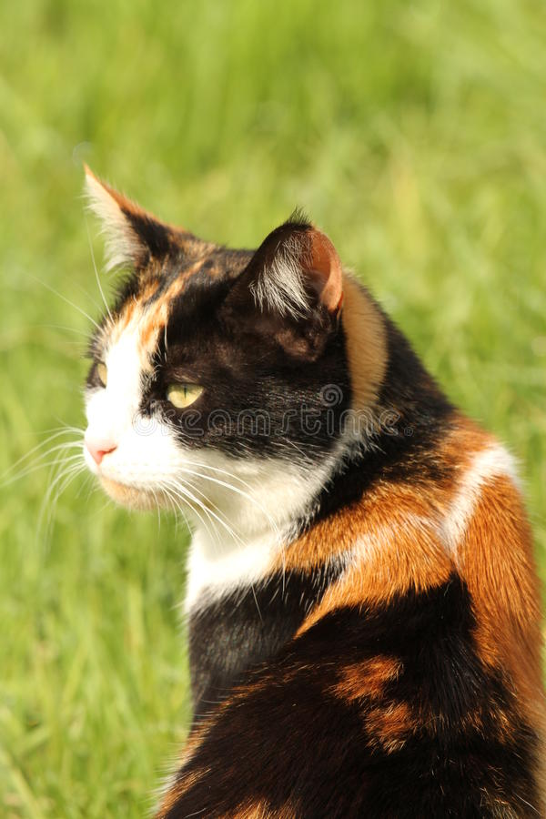Calico cat portrait. Calico or tortoiseshell cat side view royalty free stock photo