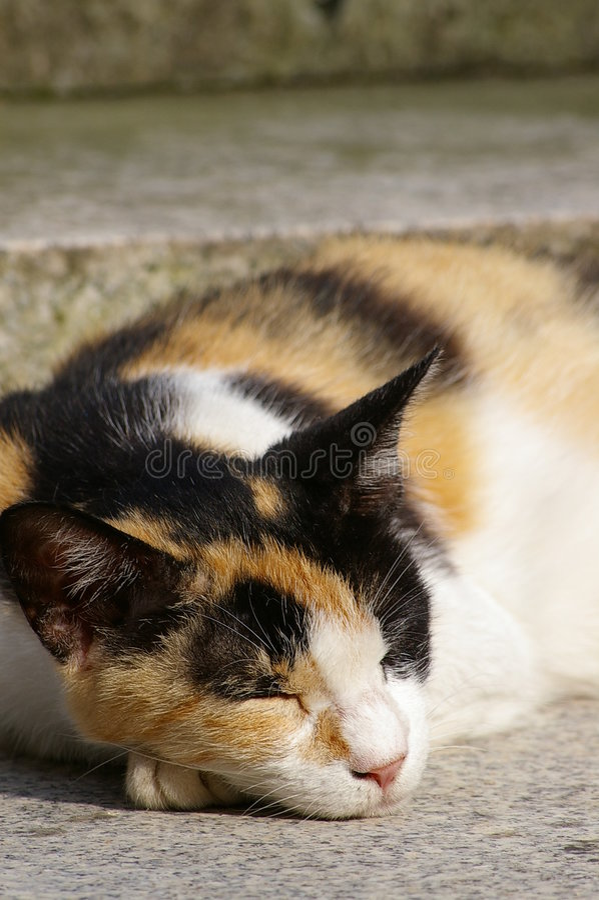 Download Calico cat sleeping stock image. Image of black, furry - 240427