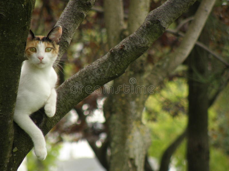 Calico cat royalty free stock photo