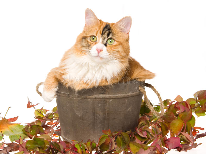 Calico cat in wooden barrel on white bg. Petty calico cat sitting inside wooden barrel with autumn leaves, on white background royalty free stock image