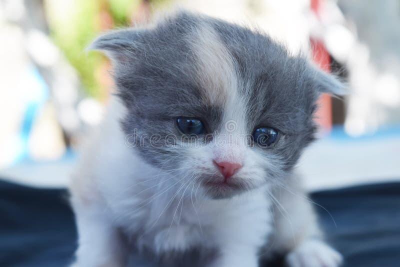 Calico cute Kitten stock photography