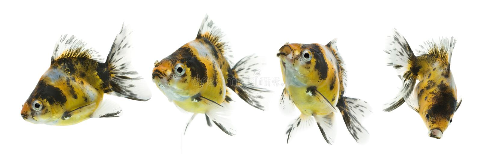 Calico Goldfish Series. Series of calico ryukin goldfish swimming against white background royalty free stock image