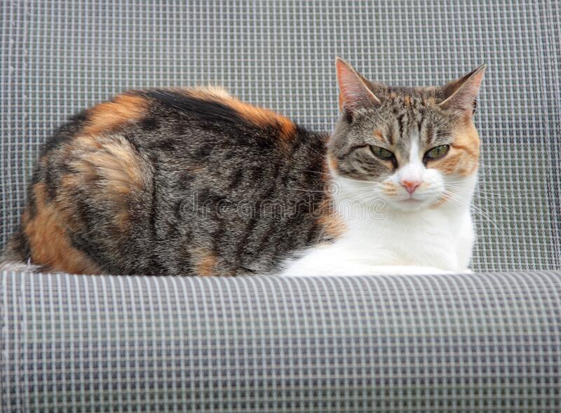 Calico Cat. Calico house cat sitting in lawn chair stock photo