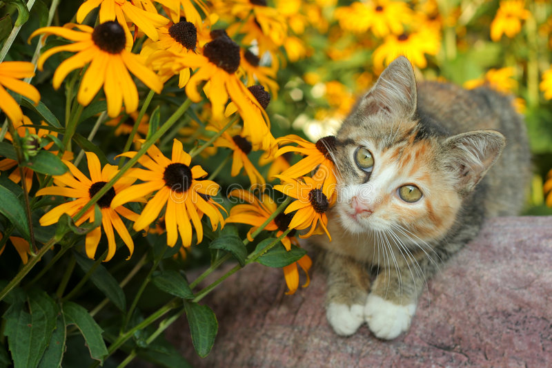 Calico kitty and Rudbeckia royalty free stock photo