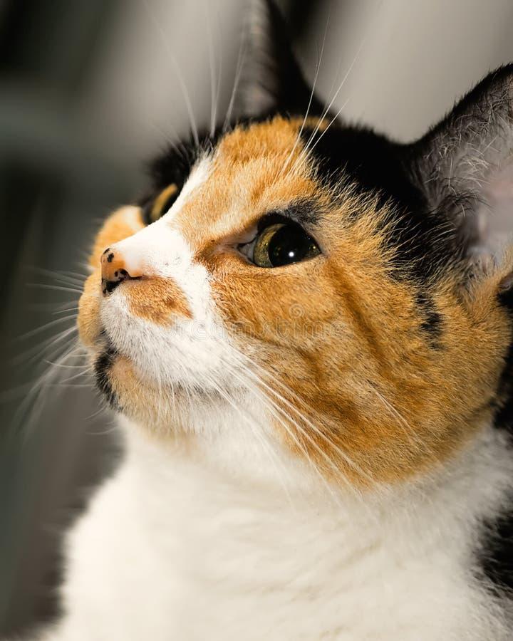 Calico Profile. Beautiful calico cat profile close up royalty free stock images