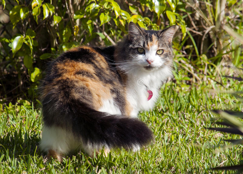 Calico or Tortie cat royalty free stock photos