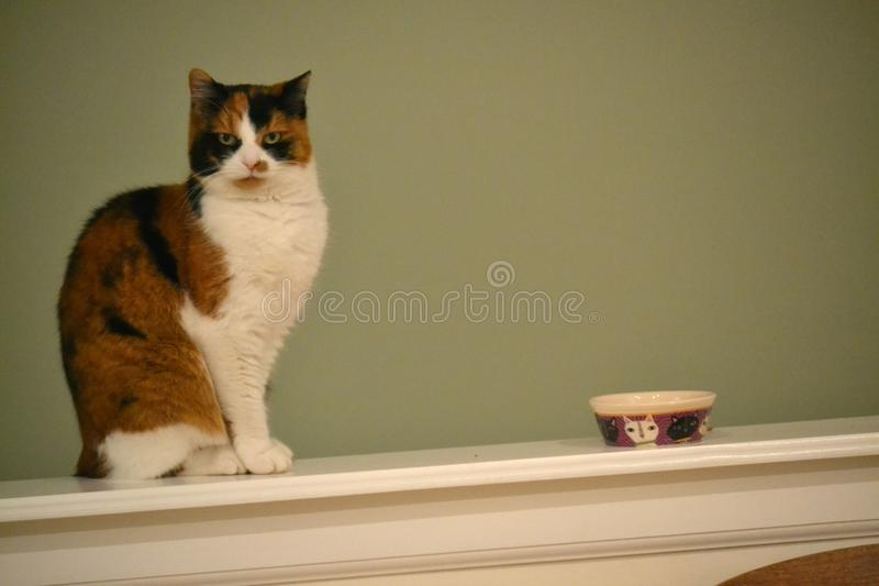 Calicot Cat Wants Food photographie stock