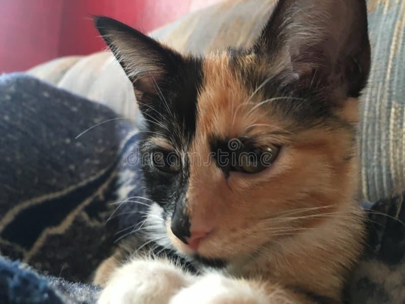 Calicot Kitty image libre de droits