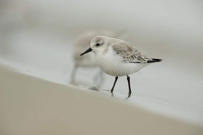 calidris alba sanderling photographie stock libre de droits